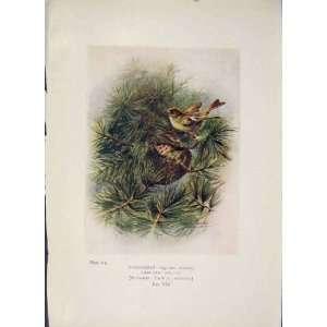 Goldcrest Bird Egg Colour Antique Old Print Fine Art