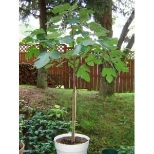 Brown Fig Tree 3 4 High Shipped in Pot Year Round: Patio