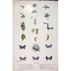 Butterfly Blue Holly Antique Print Larva Worm Insects: Home & Kitchen
