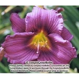 Daylily Little Grapette   1 bare root plant   2/3 fan