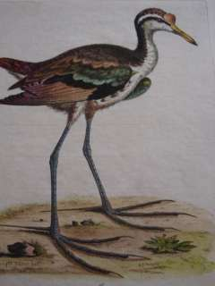 Original George Edwards Bird Print 1760: WATER HEN 48