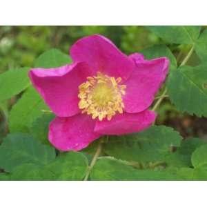 ROSE Rosa Arkansana Arkansas Rose Flower Seeds Patio, Lawn & Garden