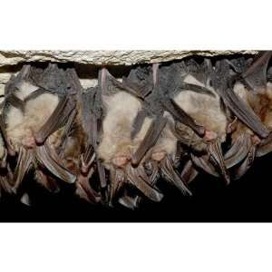 Big Eared Bats In Cave Animals Pets Peel And Stick Wall Decal Sticker