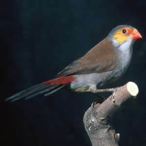 Orange Cheek Finch   Bird   Live Pet