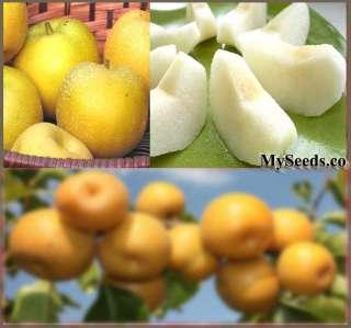 Japanese Chinese KOREAN Asian Sand Pear TREE SEEDS VERY JUICY ~ Pyrus
